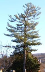 <img0*250:stuff/z/46646/Pottsville%253A%2520Mansions,%2520Trees,%2520Cemetaries/Scraggly%20Pine.jpg>